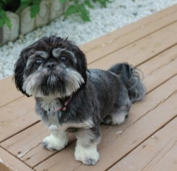 Bella Rose - Shih Tzu and Pekingese Mix