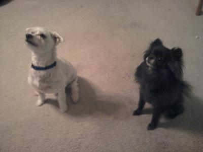 Dyce ia a maltese and Raina is a pomchi