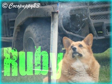 Ruby is a 5 yr old purebred pembroke welsh corgi that can lay around the house, chase fireworks, and sit. :)
